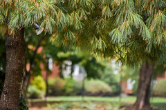 Autumn Pine trees (Dotsy McCurly) Tags: autumn pine tree nature beautiful dof bokeh nikon d750 nj