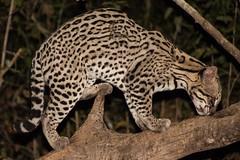 Ocelot (Barbara Evans 7) Tags: ocelot in the wild pantanal brazil barbara evans7