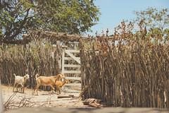 trs (Andr Beni Mota) Tags: serrabrancapb serradojatob fazenda jatob rural caminhos do nordeste brasileiro ne caprinos taipa casadepauapique