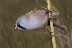 Bearded Reedling (Tit) (J J McHale) Tags: panurusbiarmicus beardedtit beardie bird nature scotland wildlife