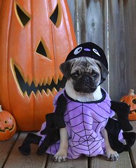 Boo The Spider Pug (DaPuglet) Tags: pug pugs dog dogs puppy puppies pet pets animal animals spider costume halloween cute