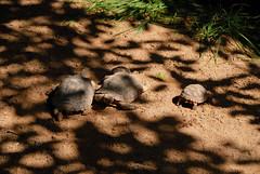 DSC_0151---Kopie (RD1630) Tags: fuerteventura oasis park reptile animal tier reptilie schlange snake summer outside outdoor sunny nature natur tortoise schildkrte