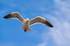 California Gull (grimeshome) Tags: californiagull seagull dillonbeach beach ocean birds bird gull sky flying flight bluesky pacificocean california feathers jonathanlivingstonseagull