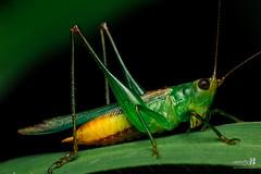 20160917 KM Katydid 0069 (The Bonding Tool) Tags: samanthahan thebondingtoolblog macrophotography macro macroinsingapore insectphotography animal animalphotography katydid