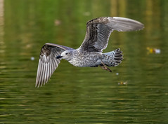 Nice flypast (ukmjk) Tags: gull ford green nature reserve stoke staffordshire nikon nikkor d500 300mm f4 pf