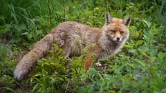Fox (Monet_P) Tags: hautesavoie france faune automne passy renard alpes