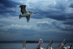 Pelicans Picnic Point The Entrance (Rob Virgona) Tags: entrancepelicansfeeding australia flight robvirgona water pelicansfeeding centralcoast theentrance pelican sea bird clouds entrance