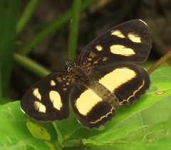 Eresia clio, Clio Crescent (Birdernaturalist) Tags: butterfly ecuador nymphalidae nymphalinae richhoyer