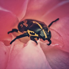 Besouro (rvcroffi) Tags: macro besouro bug beetle closeup flower flor inside rose rosa olloclip mextures vsco nature natureza blackandyellow pretoeamarelo insect inseto