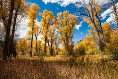 Cottonwoods 2 (PhotoBobil) Tags: colorado fall cottonwoods grandlake