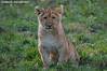 African lion cub - Olmense Zoo (Mandenno photography) Tags: dierenpark dierentuin dieren duitsland lion leeuw leeuwen leeuwtje lions lioncub cub african belgie belgium bigcat big cat olmense olmensezoo olmen