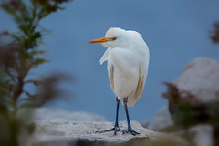 Cattle egret (Phiddy1) Tags: egret cattleegret canada toronto