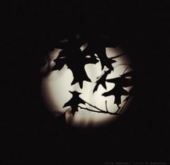 Supermoon (julesnene) Tags: california canon7dmark2 canon7dmarkii canonef400mmf56lusmlens juliasumangil supermoon art autumn fullmoon julesnene leaves moon oak