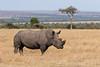 Rinoceronte-branco-do-sul (dragoms) Tags: africa kenya quénia natureza olpejeta wildlife rinocerontebrancodosul ceratotheriumsimumsimum southernwhiterhinoceros rinoceronte rhino mammal mamífero dragoms