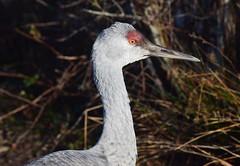 Sandhill Crane (careth@2012) Tags: bird sandhillcrane nature wildlife beak feathers portrait