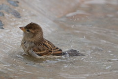 bath time (curly_em) Tags: bird smallbird feathers loscristianos tenerife canaryislands holiday outside sparrow water