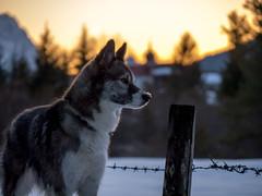 borderline (d@neumi) Tags: nukka schlittenhund husky siberianhusky siberian hund dog tier animal dof tiefenschärfe bokeh boket abendstimmung lumix panasonic winter