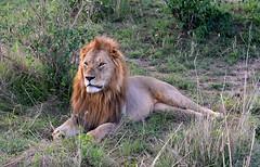 Male Lion of the mating pair watches the female approach. (One more shot Rog) Tags: lion lions lioness mate mating masaimara bigcat bigcats whiskers safari nature wildlife kenya africa kenyasafari nikond500