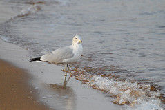 MAM_0794 (melissam606) Tags: sandypoint birds water bay