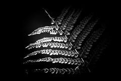 un tout petit peu de lumire (Bruno MATHIOT) Tags: light fougre plante planet plant nature noiretblanc black white nb bw outdoor forest fort canon mono monochrome contrast contraste