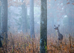 Misty Morning Whitetail (cre8foru2009) Tags: whitetaileddeer whitetaildeer whitetail whitetailed doe deer nature wildlife georgia nikon fog foggy morning atmosphere