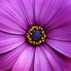 Spaanse margriet / Cape daisy (JdRweb) Tags: bloem flora flower plant sonydscrx100