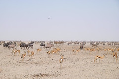 Game in Ethosa (★ Angeles Antolin ★) Tags: africa angeles antolin namibia ethosa game wild animals