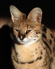 serval Blijdorp JN6A3519 (j.a.kok) Tags: serval cat africa afrika servalcat leptailurusserval blijdorp blijdorpzoo zoogdier mammal predator