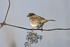 White-throated Sparrow (mnlamberson) Tags: whitethroatedsparrow zonotrichiaalbicollis