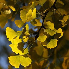 Luminous Ginkgo (AnyMotion) Tags: ginkgo ginko ginkgobiloba maidenhairtree leaf leaves blatt bltter autumncolours herbstfrbung tree nature baum natur cemetery 2016 frankfurt anymotion maincemetery hauptfriedhof hessen germany 7d2 canoneos7dmarkii colours colors farben yellow gelb green grn autumn fall herbst automne otoo square 1600x1600 ngc npc