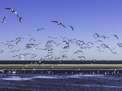 Texas City Dike Flying Gulls (Mabry Campbell) Tags: 2016 galvestoncounty h5d50c hasselblad mabrycampbell november texas texascity texascitydike usa unitedstatesodamerica animals birds coast coastal commercialphotography fineart fineartphotography fly flying gulls image photo photograph photographer photography sandbar seagulls seascape f71 november192016 20161119campbellb0000927 80mm sec 100 hc80
