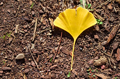 One Lonely Ginko (mpardo.photo) Tags: ginko leaf autumn gravel yellow pentaxart cc0 darktable