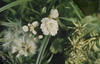 5_8_026.jpg (Mary Gillham Archive Project) Tags: 1974 cardaminepratensis cheriton cuckooflower planttree salix wales