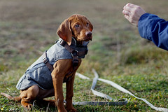 Dobby (Cle Manuel) Tags: magyar vizsla brown dog puppy welpe analogue analog wischler baby