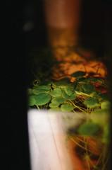 47-2 (greenvisuals) Tags: nikon d7000 50mm 14g aquarium fish tank plants water green light indoor