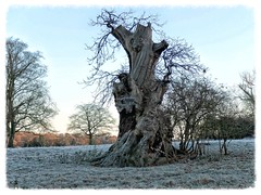 Naked tree - The Aged One (3pebbles) Tags: tree gnarled mighty winter frost frosty frosted countryside