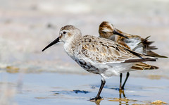 Dunlin (Cyprus Bird Watching Tours - BIRD is the WORD) Tags: cyprusbirdingtours cyprusbirdwatchingtours bird nature flickr canon cyprus colour color sunny bright wildlife sandpiper