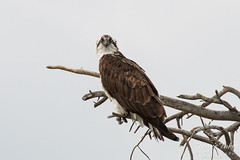 Female Osprey stares down the photographer