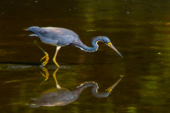Tricolored heron (stephaniepluscht) Tags: park reflection heron mobile flickr alabama explore langan 2015 tricolored