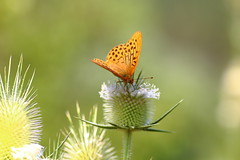 Silver-washed fritillary (rumyanawhitcher) Tags: summer macro green nature butterfly insect wings natural lepidoptera teasel photocompetition argynnispaphia silverwashedfritillary oramge bigbutterflycount rumyanawhitcher