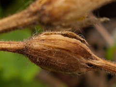 Seedheads and seed pods - 5 (Jackie & Dennis) Tags: september seedpods challenge seedheads 2015 shootaboot