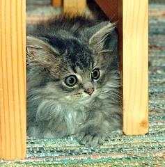00348 (d_fust) Tags: cat kitten gato katze 猫 macska gatto fust kedi 貓 anak katt gatito kissa kätzchen gattino kucing 小貓 고양이 katje кот γάτα γατάκι แมว yavrusu 仔猫 का skorpi बिल्ली बच्चा