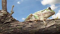Frog. (Mayte Moya) Tags: nature animal wildlife amphibian frog toad sapo rana havanacuba anfibio greatnature