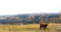 Mooooo (K  ) Tags: autumn canada fog cow cattle foliage alberta fullerton heifer allenbillpond