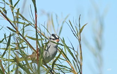 Bruant à couronne blanche / White-crowned Sparrow (alain.maire) Tags: canada bird nature quebec oiseau whitecrownedsparrow zonotrichialeucophrys emberizidae bruantàcouronneblanche