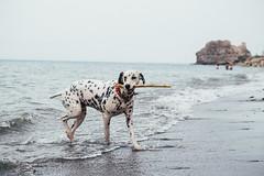 My stick (Leo Hidalgo (@yompyz)) Tags: dog love film animal canon photography eos reflex random cam like perro dslr dalmatian 6d fotografa dlmata vsco ileohidalgo yompyz