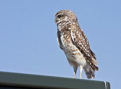 Burrowing Owl; Los Lunas, NM [Lou Feltz] (deserttoad) Tags: newmexico bird nature desert raptor owl migration behavior wildbird
