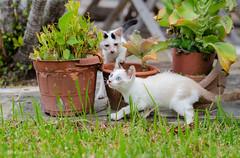 Kittens at Play (d-harding) Tags: animals cat nikon kitten play malaysia borneo kotakinabalu putatan d5100 nikond5100 sigma105mmf28macroexdgoshsm