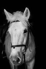 Tinker (DWO630) Tags: blackandwhite horse white black fall monochrome prime virginia nikon richmond connemara d750 equine rva varina equus equis 85mm18 balmullofarm nikond750