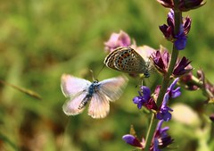 Love is in the Air.. (Marcell Krpti) Tags: nature fauna butterfly video hungary lepidoptera magyarorszg lycaenidae plebejusargus silverstuddedblue polyommatinae courtshipdance muzsla ezstsboglrka westernmtra